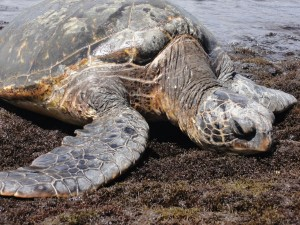 Prenez Place Big Island Hawaii Tortue