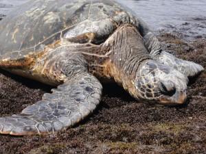 Prenez Place Big Island Hawaii Tortue