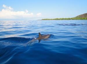 Big Island Dolphin