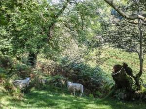 Fforest fawr - Moutons