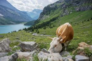 Les vaches d'Underbärgli