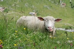 Mon copain le mouton