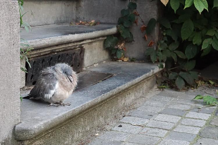 Bruxelles - Pigeon