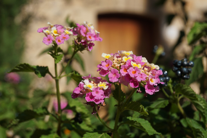 Pollença - fleurs