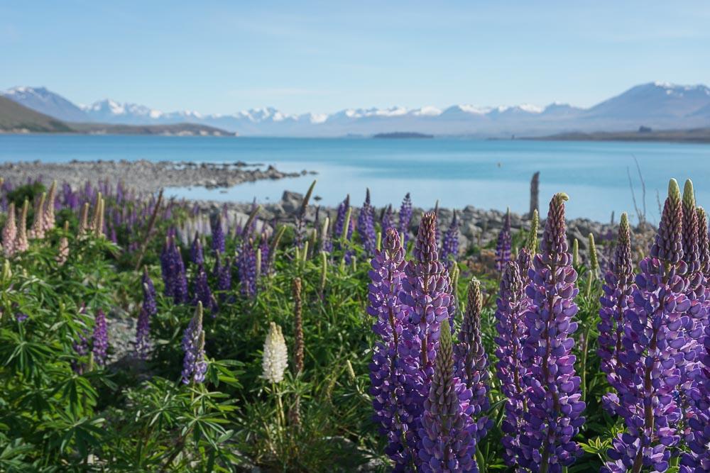 Saviez-vous que le lupin est une variété de plante implantée par l'homme en Nouvelle-Zélande et qu'elle cause des dégâts sur la faune et flore locale?