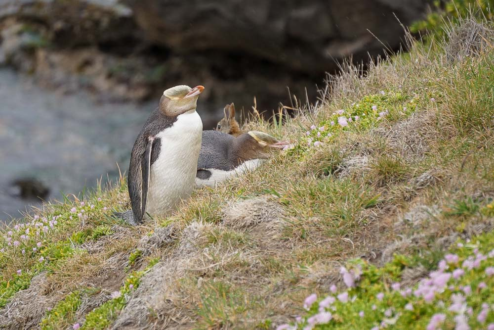 Moeraki_Yellowed_eyed_penguin2