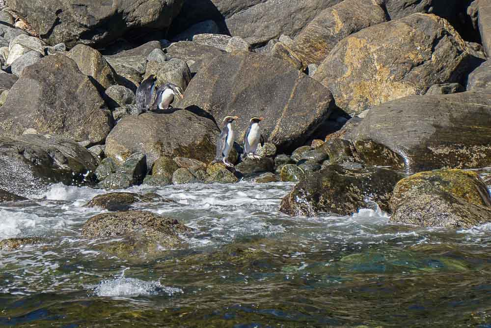 Milford_Sound_Crested_Penguins