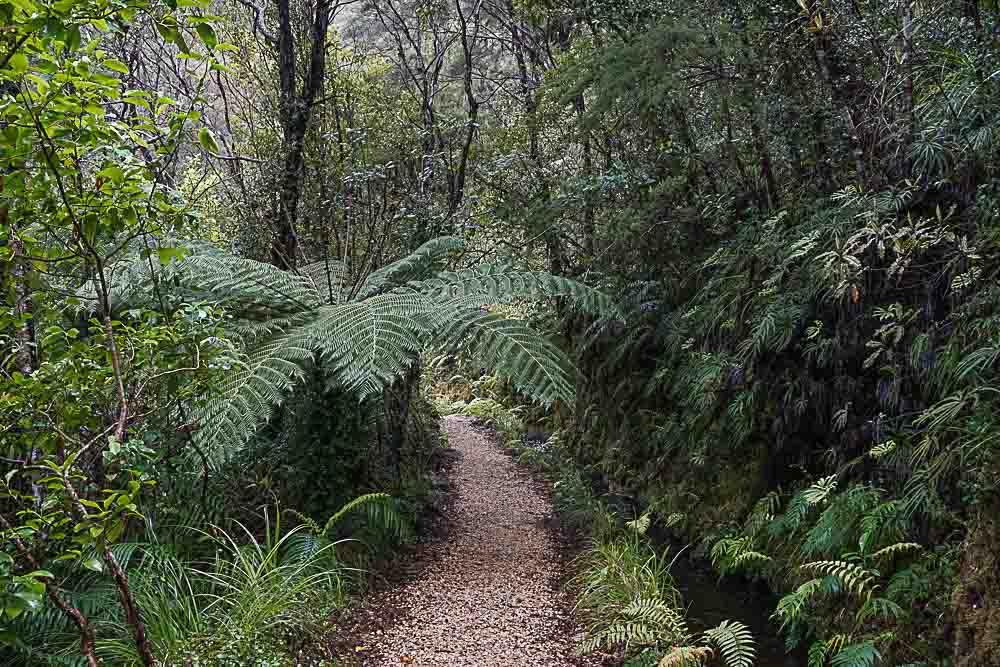 Fougère_NZ_Chemin