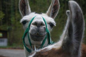 Les lamas sont des créatures très drôles
