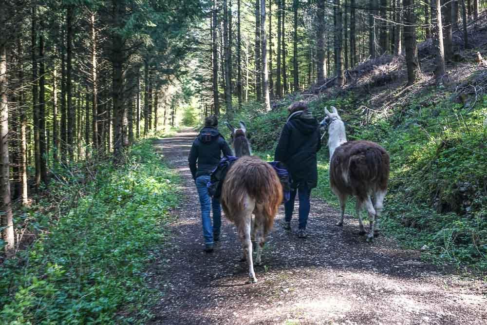 Marcher avec des lamas, c'est facile.
