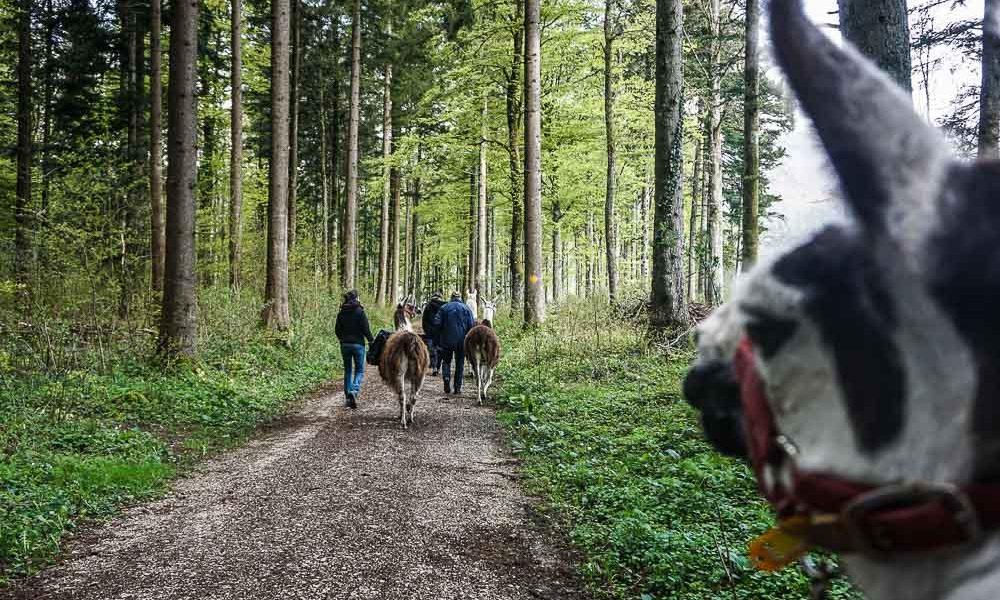 Balade en forêt avec des lamas