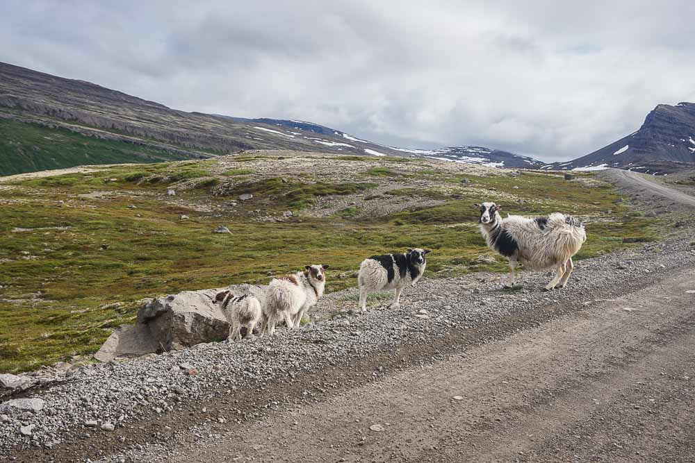 Fjords_Ouest_Islande_Moutons