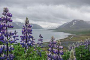 Islande - Lupins