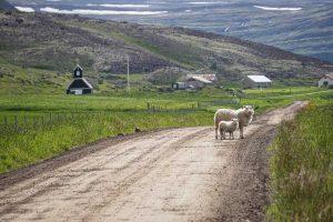 Les moutons de Raudasandur
