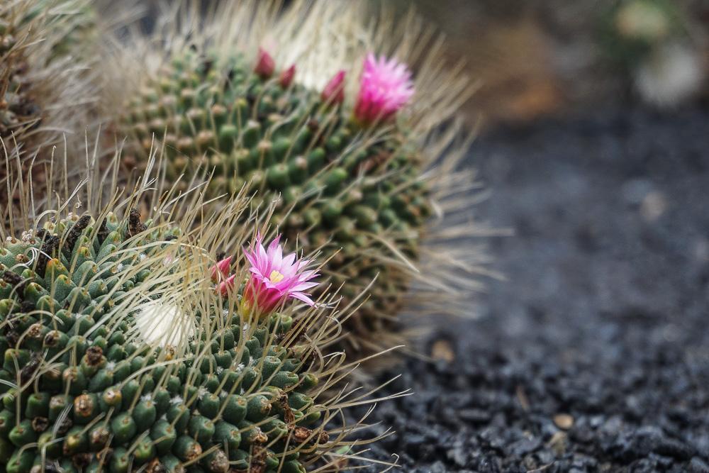 Prenez Place - Lanzarote - Jardin de Cactus